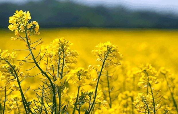 95 درصد بذر کلزای هیبریدی و شبدر کشور در دزفول فراوری می گردد